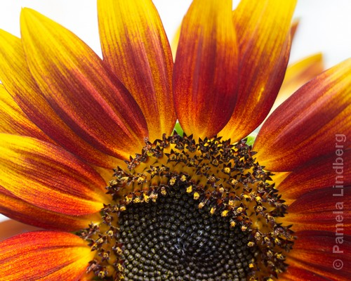 Sunflower | Photography | 11x14"